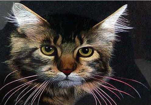 精微素描动物 猫